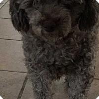 Adopt A Pet :: Capri - Mesquite, TX