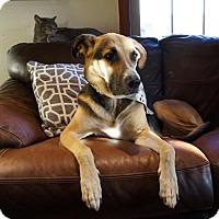 Adopt A Pet :: Layla - St Louis, MO