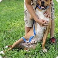 Mastiff Mix Dog for adoption in Joplin, Missouri - Frankie