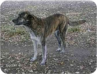 German Shepherd Dog/Catahoula Leopard Dog Mix Dog for adoption in ...