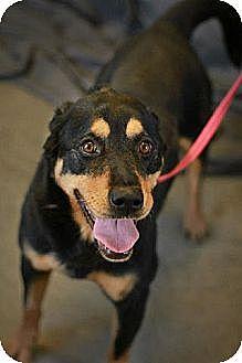 Rottweiler Mix Dog for adoption in Godfrey, Illinois - Roxie