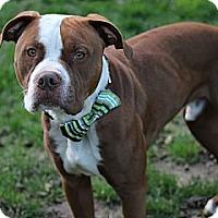 Adopt A Pet :: Bruno - Des Peres, MO