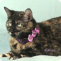 Domestic Shorthair Cat for adoption in Kerrville, Texas - Raven