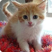 Adopt A Pet :: Siena - N. Billerica, MA