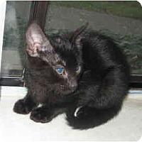 Adopt A Pet :: Snowball #3 - Davis, CA