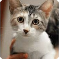 Adopt A Pet :: Patsy Cline - Chicago, IL