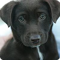 Adopt A Pet :: Bearess - Canoga Park, CA