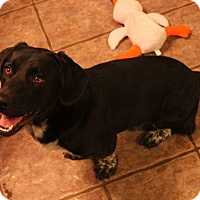 Adopt A Pet :: Pepe Le Pew - Flower Mound, TX