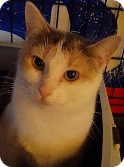 Domestic Shorthair Cat for adoption in New Bedford, Massachusetts - Joy