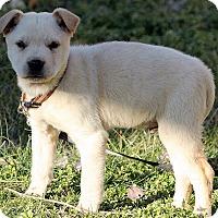 Adopt A Pet :: Ainsley - Harrisonburg, VA