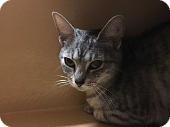 Egyptian Mau Cat for adoption in Statesville, North Carolina - Aisha