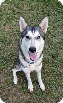 Siberian Husky Mix Dog for adoption in Clay, Alabama - Malena