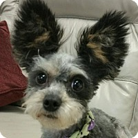 Adopt A Pet :: Calypso - REDDING, CA