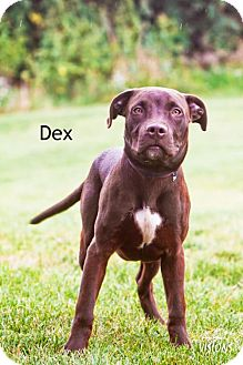 Labrador Retriever/Pit Bull Terrier Mix Dog for adoption in Cedar Rapids, Iowa - Dex