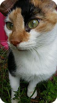 Calico Cat for adoption in Ocala, Florida - KANDY