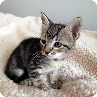 Domestic Shorthair Kitten for adoption in Austin, Texas - Quincey