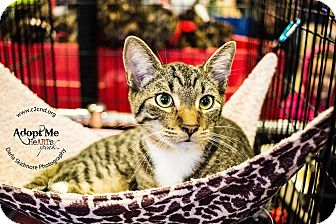 Domestic Shorthair Kitten for adoption in Mooresville, North Carolina - A..  Jax