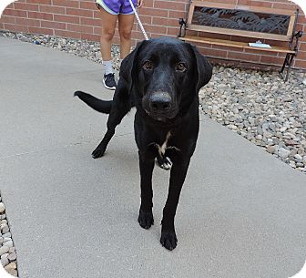 Labrador Retriever Mix Dog for adoption in Sioux City, Iowa - SHAGGY