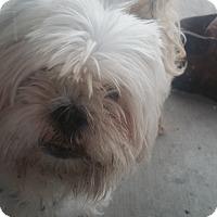 Adopt A Pet :: Gizmo - Cape Coral, FL