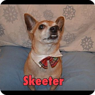 Chihuahua Dog for adoption in Indianapolis, Indiana - Skeeter