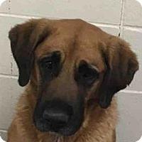 Adopt A Pet :: DOLLY PARTON - Missoula, MT