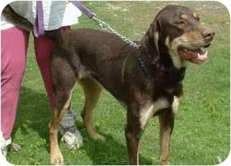 Jak | Adopted Dog | Makinen, MN | Great Dane/Rottweiler Mix