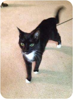 Domestic Shorthair Cat for adoption in Mobile, Alabama - Oreo