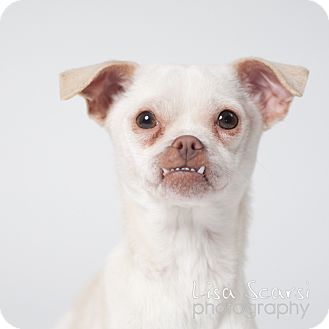 Chihuahua Mix Dog for adoption in Los Angeles, California - Maggie