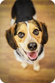 Beagle/Australian Shepherd Mix Puppy for adoption in Lake Odessa, Michigan - Ernie