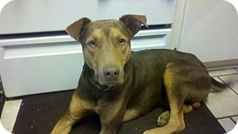 Doberman Pinscher Pitbull Mix with Terrier