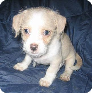 Shih Tzu/Chihuahua Mix Puppy for adoption in Phoenix, Arizona - Pip
