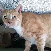 Domestic Shorthair Cat for adoption in Sherman Oaks, California - Irwin