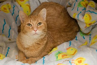 Domestic Shorthair Cat for adoption in Chicago, Illinois - Tiger