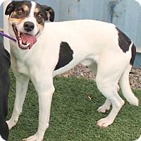 Adopt A Pet :: Buzz Jack - Woodland, CA