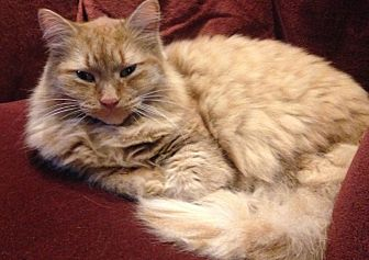 Domestic Longhair Cat for adoption in Cambridge, Ontario - Fluffy and Tigger