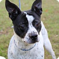 Adopt A Pet :: Piper Michelle - Alexandria, VA