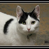 Adopt A Pet :: Bocce - New Richmond,, WI