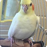 Adopt A Pet :: Butterfinger - Monterey, CA