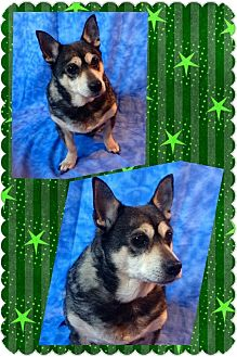 Corgi/Beagle Mix Dog for adoption in norridge, Illinois - Frankie
