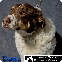 Adopt A Pet :: Beau - Fort Mill, SC