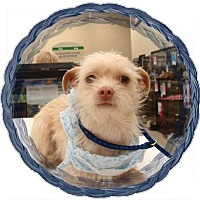 Adopt A Pet :: Boyd - Las Vegas, NV