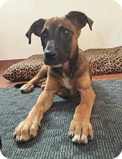 Boxer Mix Dog for adoption in New York, New York - Nina