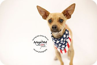 Chihuahua/Dachshund Mix Puppy for adoption in Aqua Dulce, California - Scooby