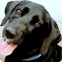 Adopt A Pet :: THEA(GORGEOUS PB LABRADOR! WOW - Wakefield, RI