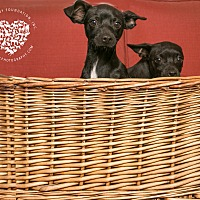 Adopt A Pet :: 2 Chi pups - Inglewood, CA