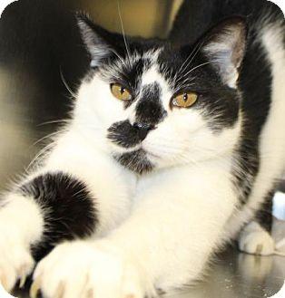 Domestic Shorthair Cat for adoption in Waynesboro, Pennsylvania - Zapper