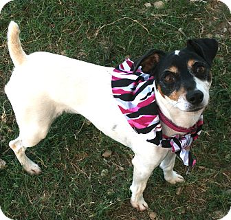 Jack Russell Terrier Mix Dog for adoption in Pilot Point, Texas - Malvina