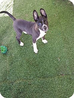 Border Collie Mix Puppy for adoption in Morgan Hill, California - Stevie