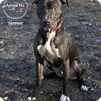 Adopt A Pet :: Sampson - THREE RIVERS, MA