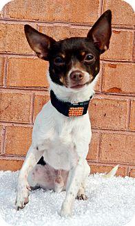 Chihuahua Dog for adoption in Bridgeton, Missouri - Jake
